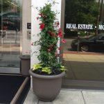 Mandevilla exterior plant design